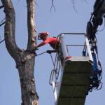 MODENA: Abbattimento di un Pino pericolante con piattaforma 42m