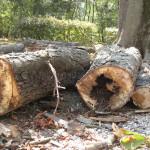 Particolare di legno cariato di ippocastano