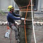 FERRARA: Fasi di abbattimento controllato di una Paulonia in spazio ridotto