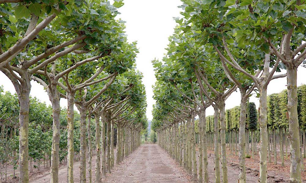 Dr riccardo frontini sicurezza dell 39 albero 2 la qualit for Piante da vivaio