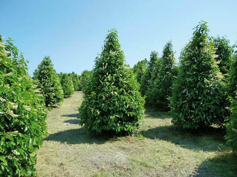 Messa a dimora di nuove piante arteverde abbattimento for Gli alberi sempreverdi