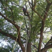 BOLOGNA: Potatura in Tree-Climbing su Quercia monumentale