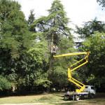 RAVENNA: Rimonda su Cedro in parco storico