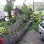 FERRARA: Tiglio schiantato a causa di marciume del legno da fungo Ganoderma Lucidum
