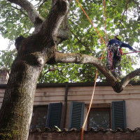 BOLOGNA: Potatura di riduzione su Paulonia