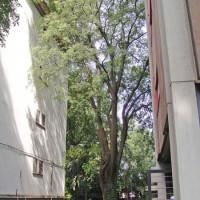 FERRARA: Potatura di riduzione su Bagolaro in cortile condominiale