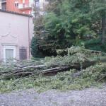 FERRARA: Pioppo Cipressino schiantato